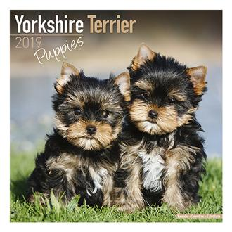 2019 30x30 Yorkshire Terrier Puppies