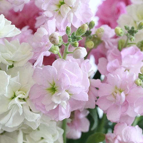 【3/22到着:九州地方宛】Weekly Flower ストック10本ピンク系アソート※ベースセット※